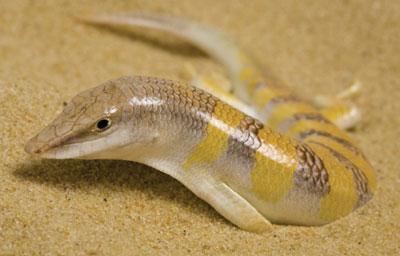 Frictionless And Anti Abrasive Skin Of A Sandfish Blogionik